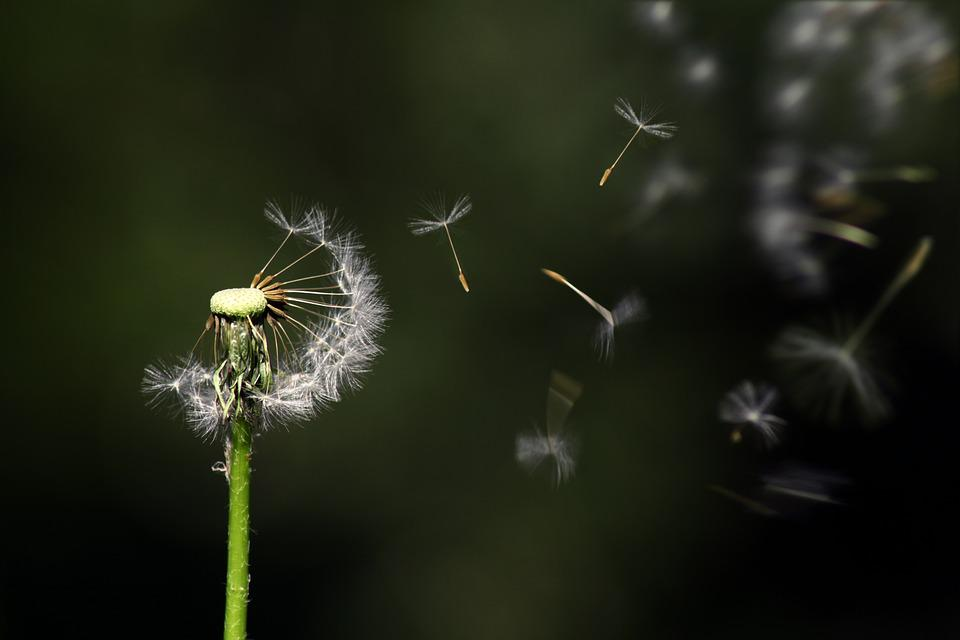 Dandelion, Floating, Flower, Nature, Flying, Growth