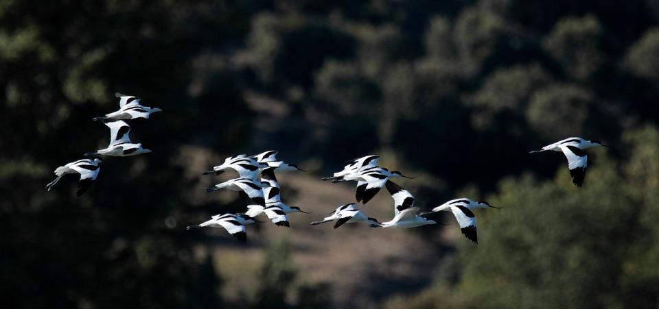 Avocets, Flock, Birds, Wading Birds, Nature, Water