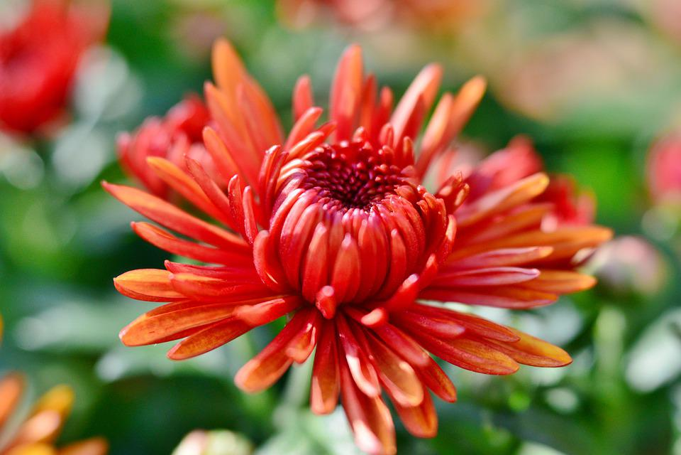 Flower, Chrysanthemum, Flowers, Nature, Flora, Petals