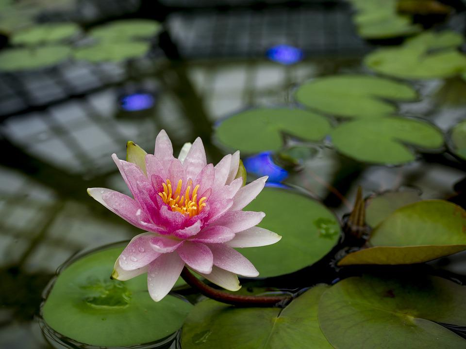 Lotus, Flower, Petals, Pink, Pond, Nature, Flora