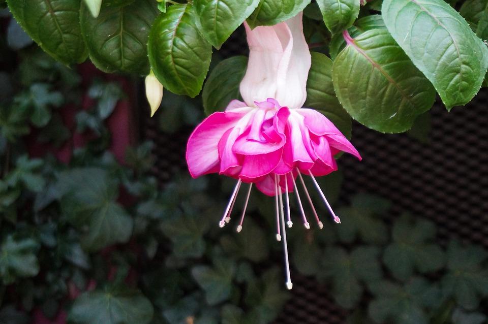 Flower, Pink, Nature, Bloom, Blossom, Flora, Plant
