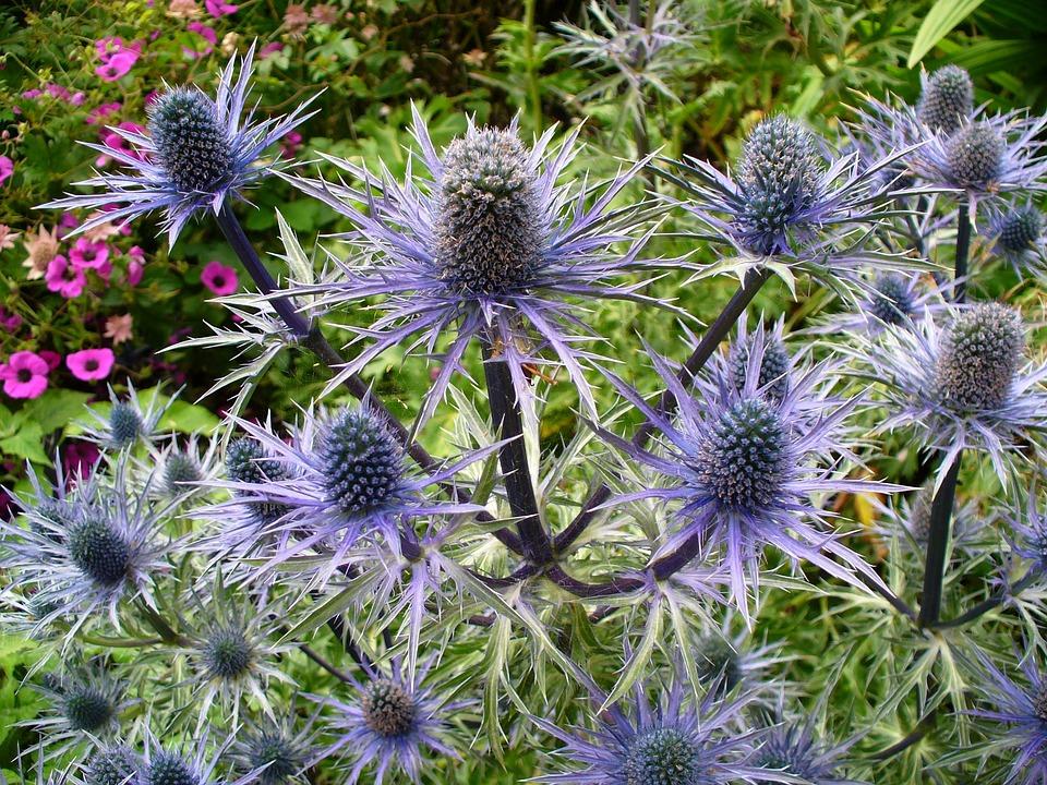 Thistle, Nature, Plant, Blue, Flower, Flora, Violet