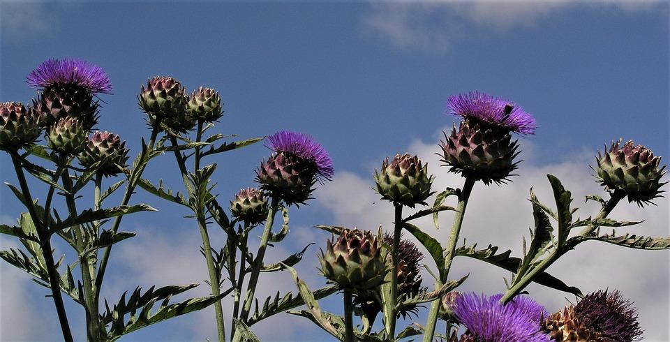 Flower, Flora, Summer, Nature, Thistle, Wildflower