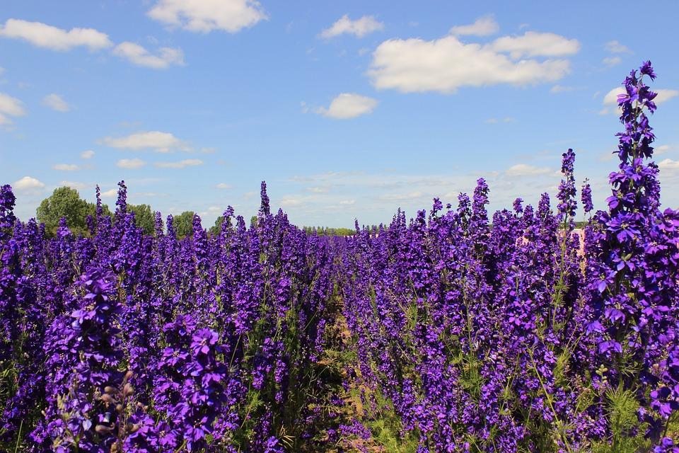 Flowers, Delphiniums, Blue, Nature, Floral, Plant