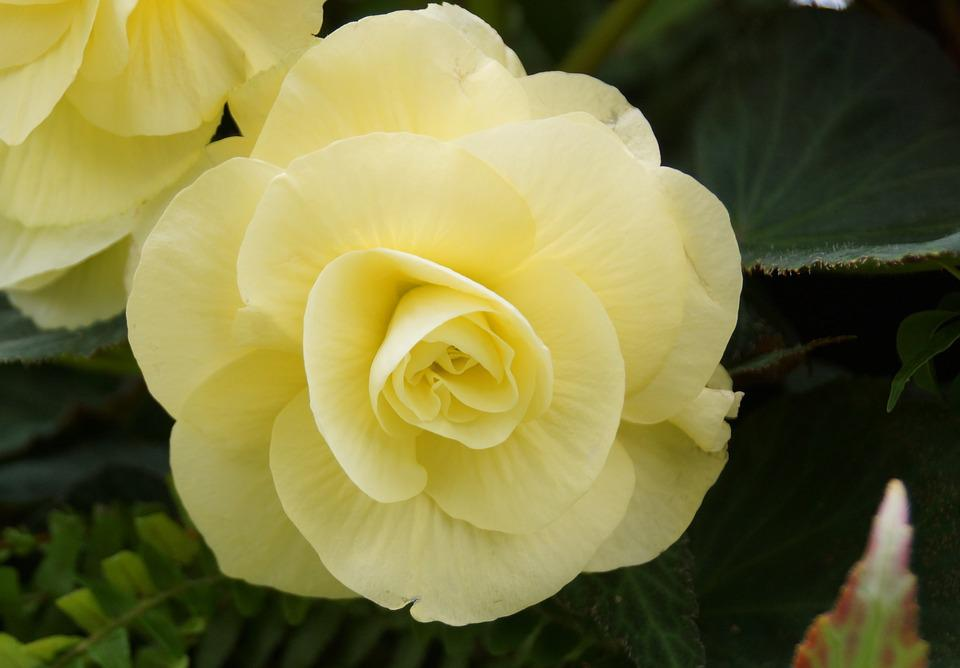 Free photo nature floral rose leaf pale yellow flower flora max pixel flower nature flora leaf floral rose pale yellow mightylinksfo