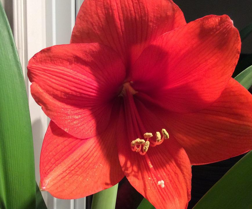 Flower, Amaryllis, Flora, Nature, Red