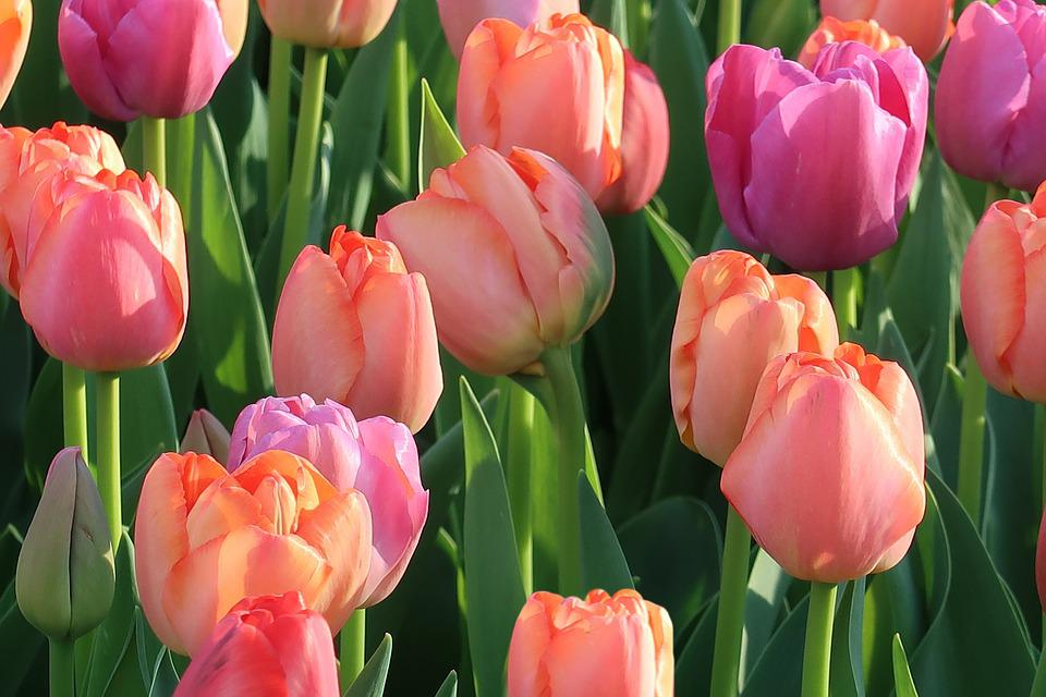 Tulip, Nature, Garden, Plant, Flower Arrangement