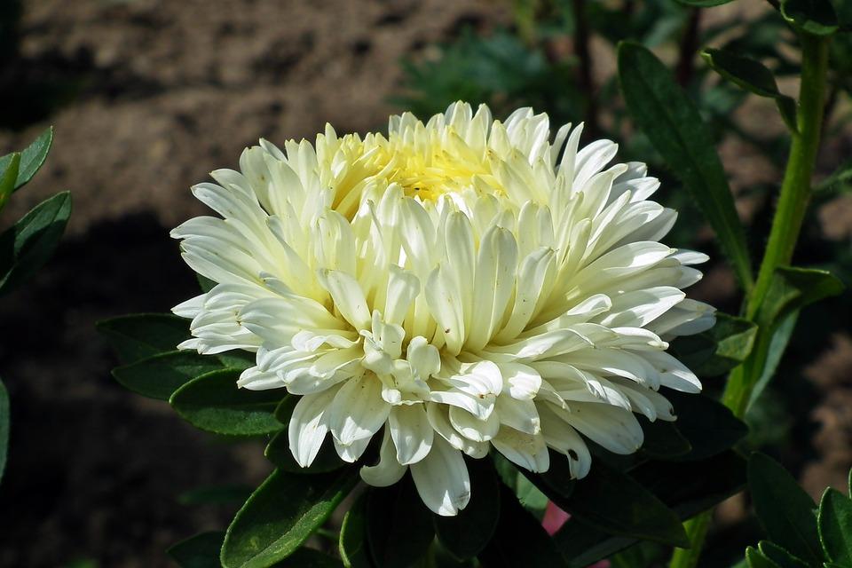 Flower, Aster, White, Garden, Macro, Nature, Summer