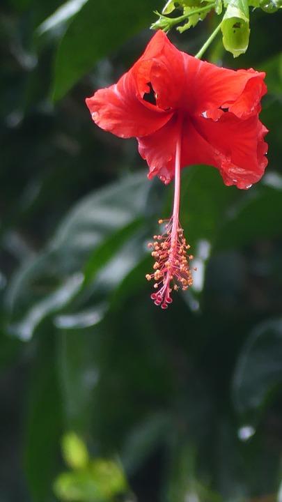 Hibiscus, Flower, Tropical, Red, Nature, Bali, Ubud