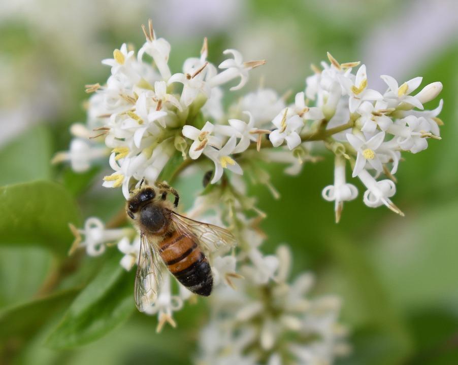 Honeybee, Bee, Flower, Pollen, Insect, Nature