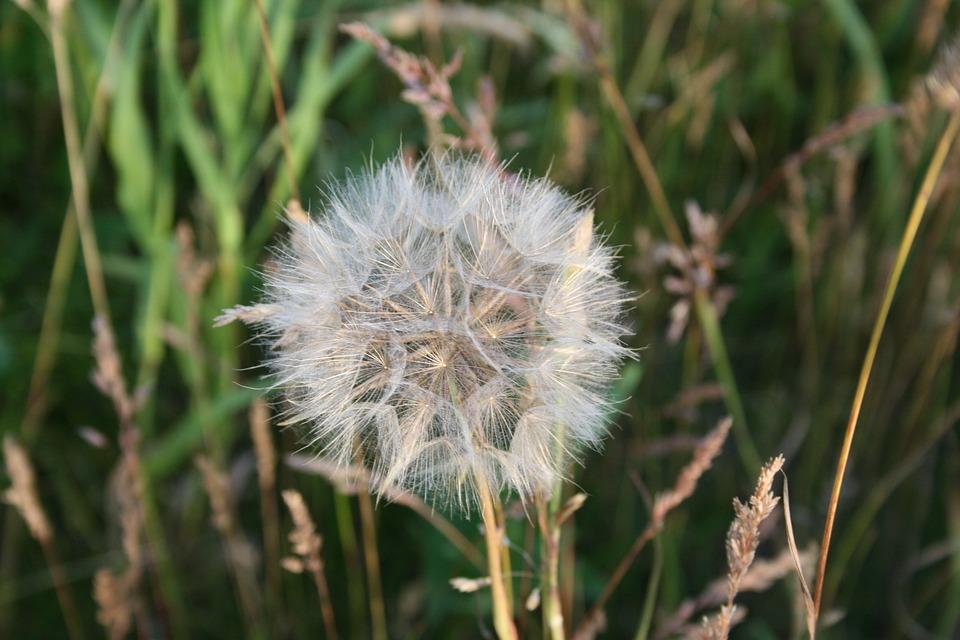 Dandelion, Flower, Nature, Mother And Stepmother, Bloom
