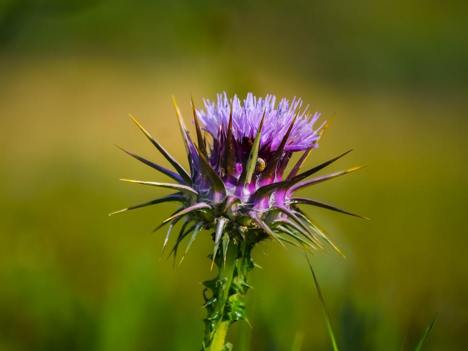 Thistle, Nature, Flower, Flora, Blooming, Thorns, Plant