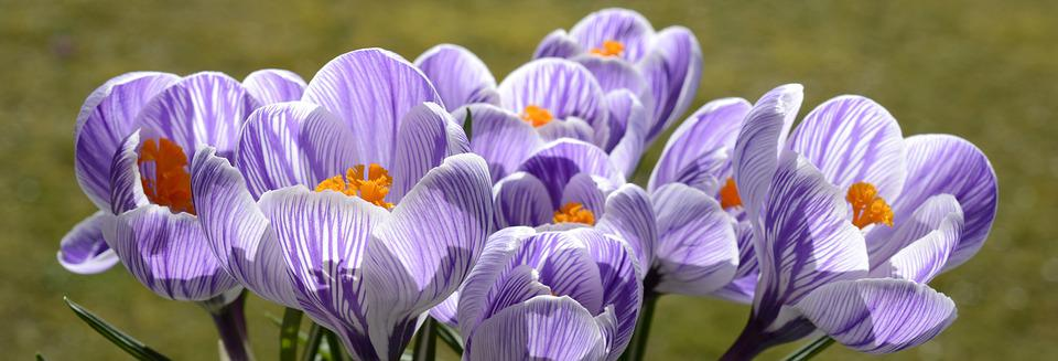 Crocus, Flower, Spring, Nature, Spring Flower, Blossom