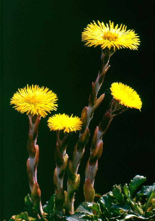 Tussilago Farfara, Flower, Nature, Blossom, Bloom