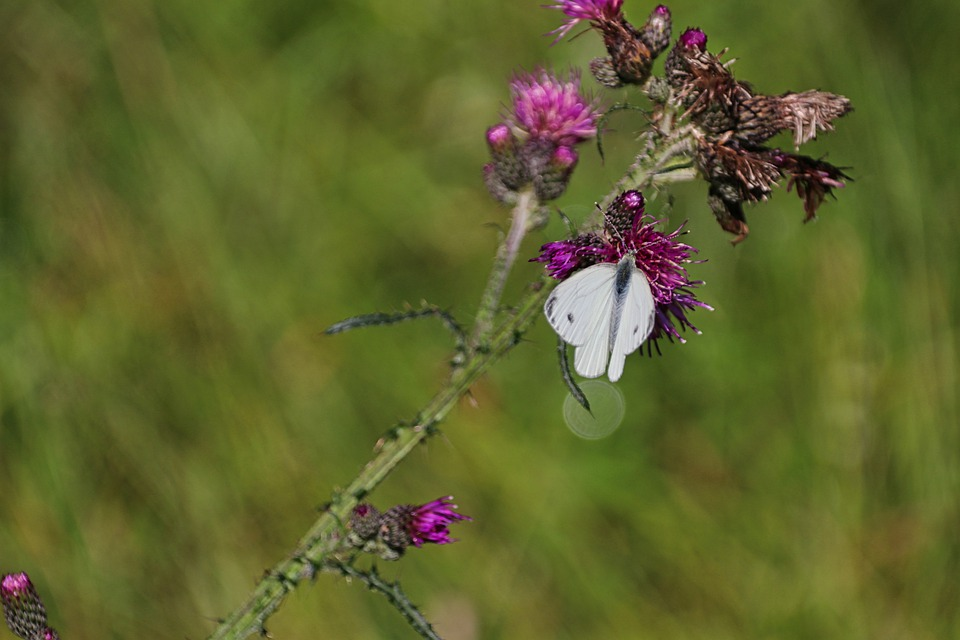 Butterfly, Thistle, Flower, Flora, Plant, Nature