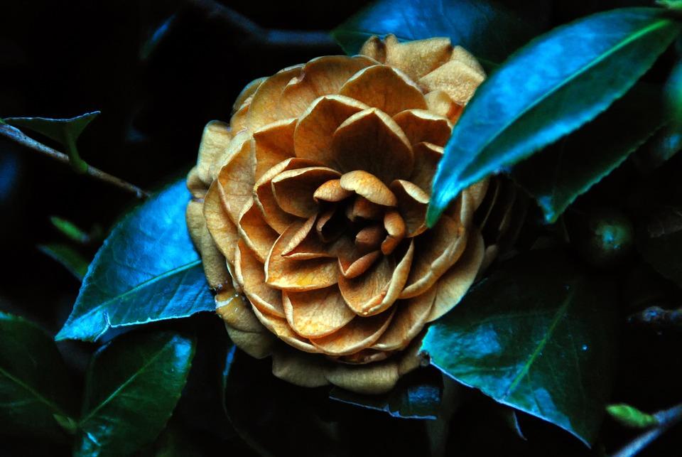 Camellia, Flower, Pink, Plant, Nature, Petal, Botanical
