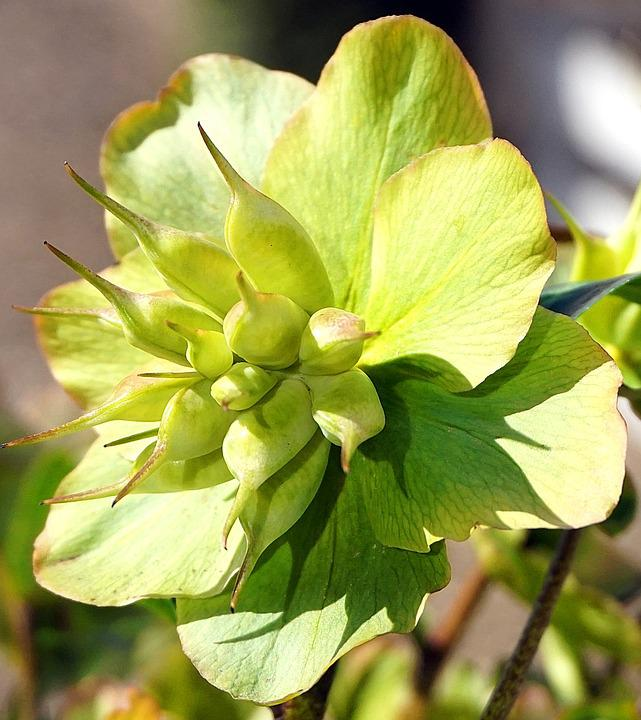 Christmas Rose, Faded, Flower, Nature