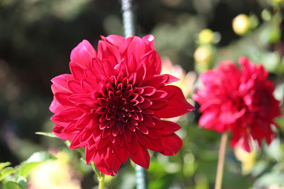 Flower, Dahlia, Nature, Floral, Red