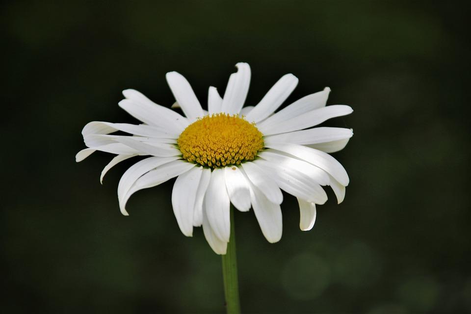 Free photo nature flower daisy white flowers summer flowers max pixel daisy flower nature summer flowers white flowers mightylinksfo