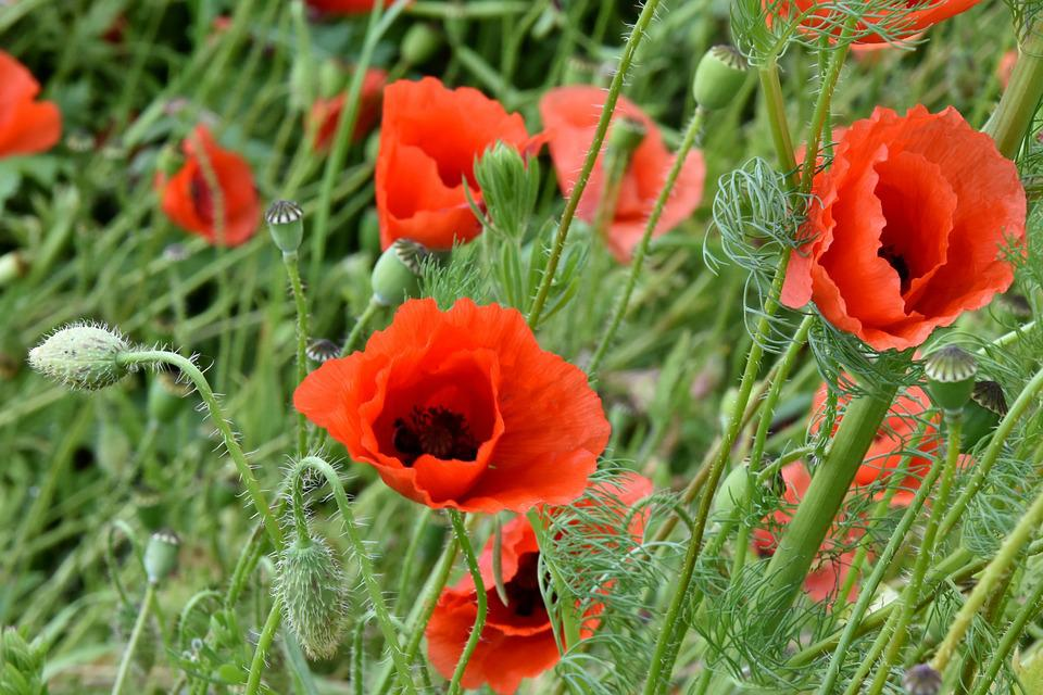 Poppies, Red, Nature, Meadow, Field, Flower