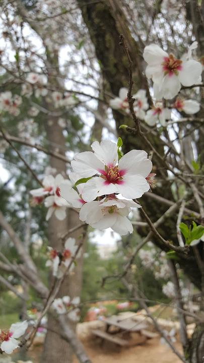 Tree, Branch, Nature, Flower, Flora, Almond Tree
