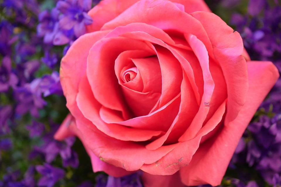 Flower, Rose, Petal, Flowers, Nature, Plant, Floral