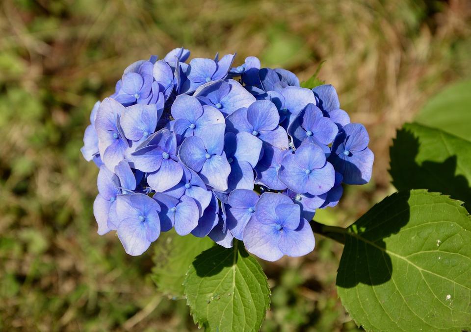 Flower, Flower Blue Color, Flower Hydrangea, Nature