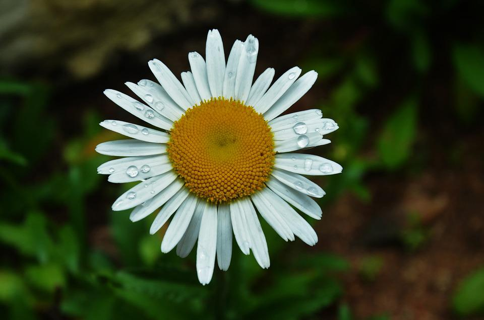 Flower, Garden, Nature, Daisy
