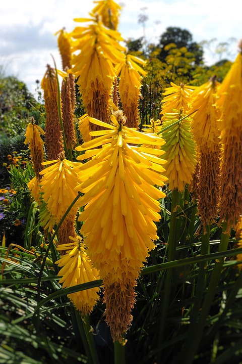 Foxtail Lilies, Yellow Flowers, Garden, Flower, Nature