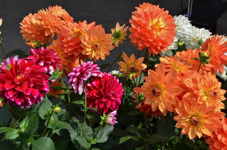 Dahlia, Dahlias, Flower, Nature, Garden, Macro, Detail