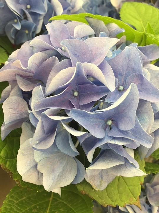 Hydrangea, Flower, Plant, Nature, Floral, Blossom