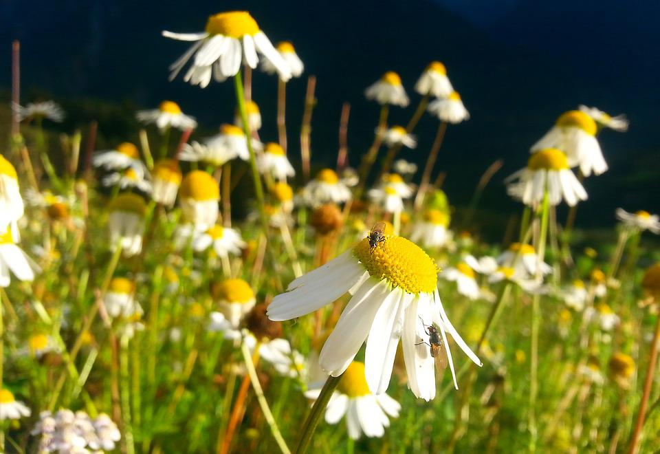 Chamomile, Meadow, Summer, Nature, Flower Meadow