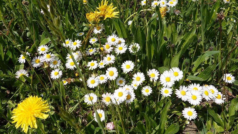 Flowers, Spring, Nature, Flower Meadow, White, Meadow