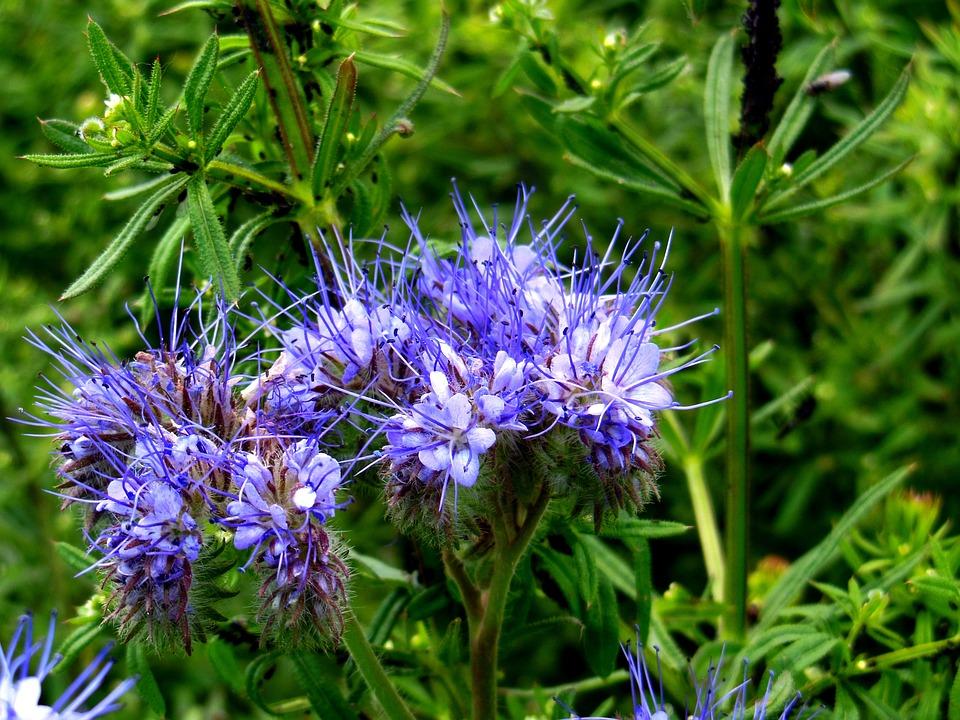 Facélia, Mézontó Grass, Nectar, Flower, Nature, Green