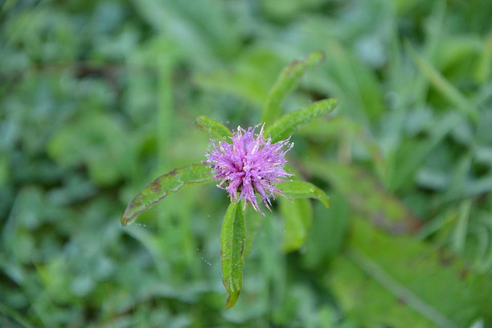 Flower Of Red Clover, Flower Purple, Nature, Prairie