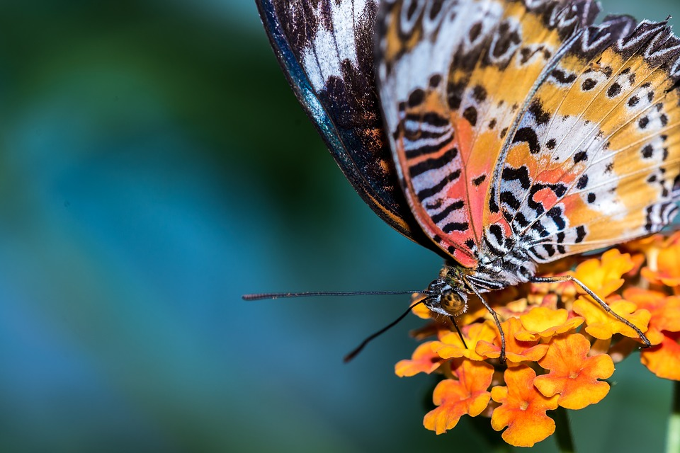 Butterfly, Insect, Nature, Flower, Macro, Orange