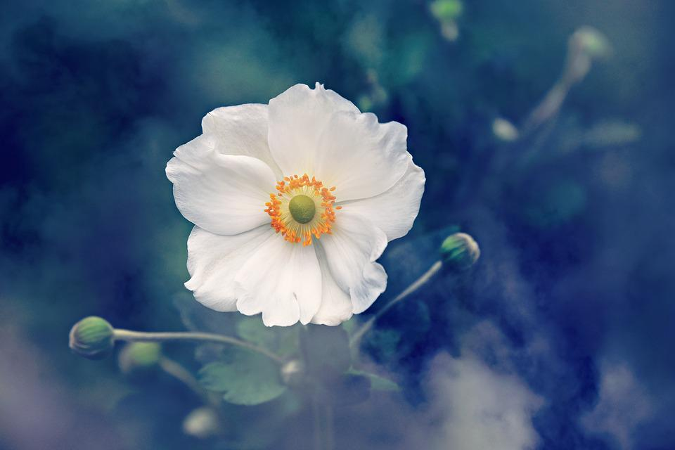 Anemone, Flower, Plant, Nature, Summer, Outdoors