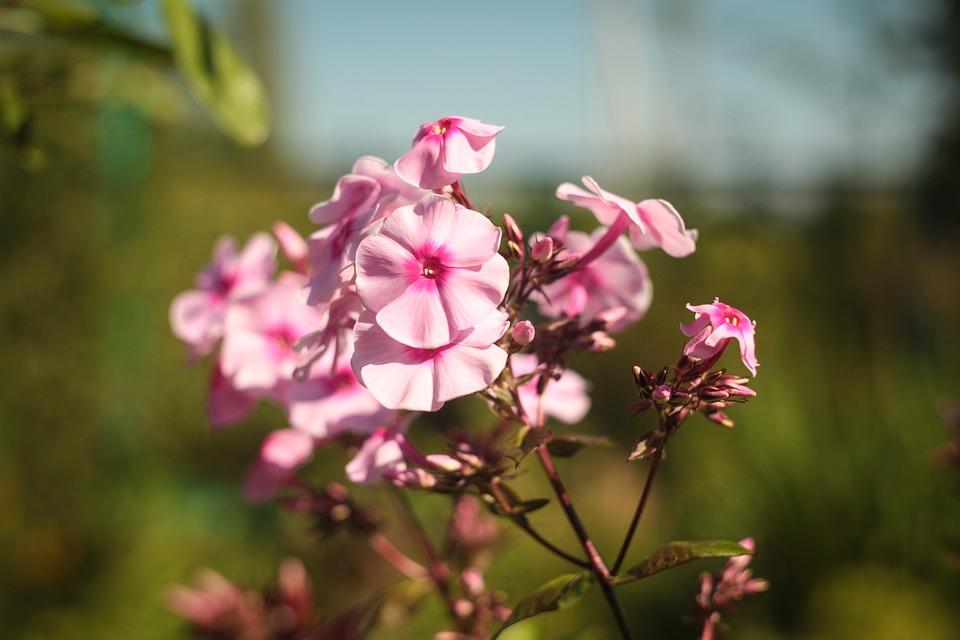 Flower, Nature, Plant, Garden, Blooming, Summer, Season