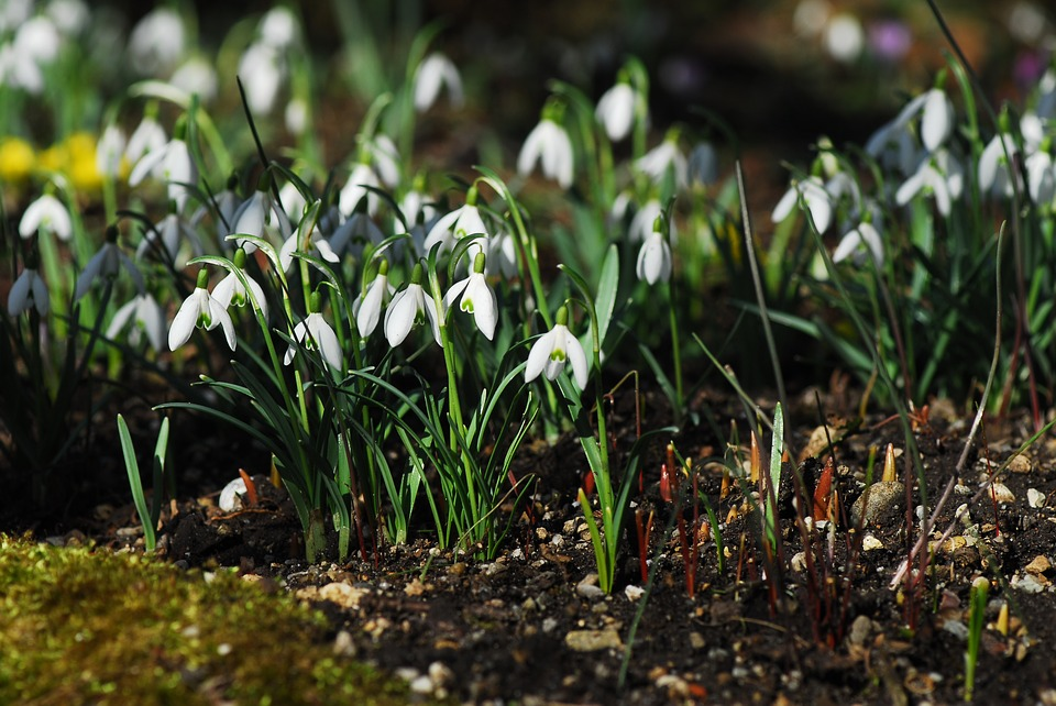 Nature, Flower, Plant, Season, Grass, Snowdrop