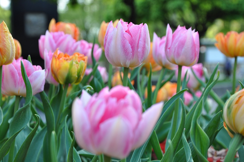 Flower, Nature, Plant, Tulip