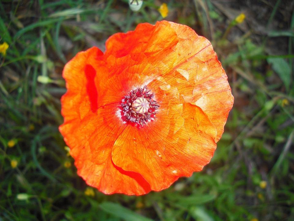 Poppy, Nature, Flower