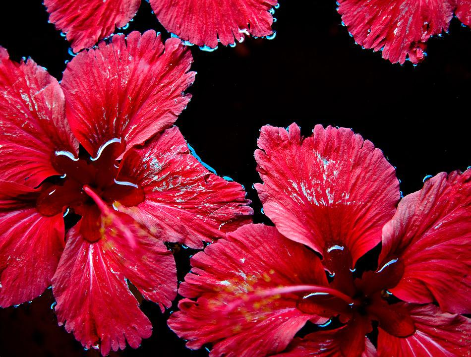 Red Flowers, Floating, Water, Red, Flower, Nature