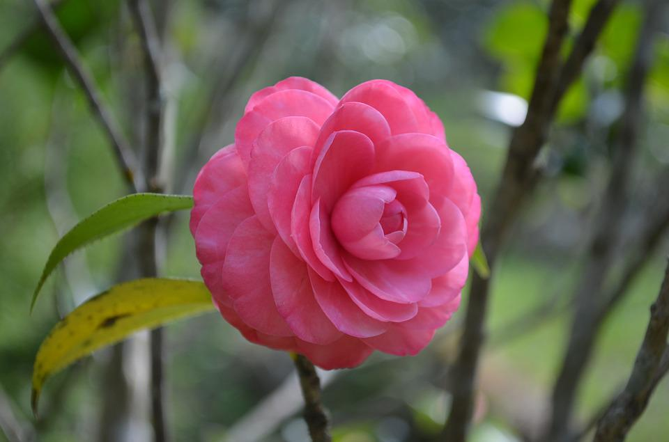Camellia, Pink, Flower, Red Flower, Nature, Plant