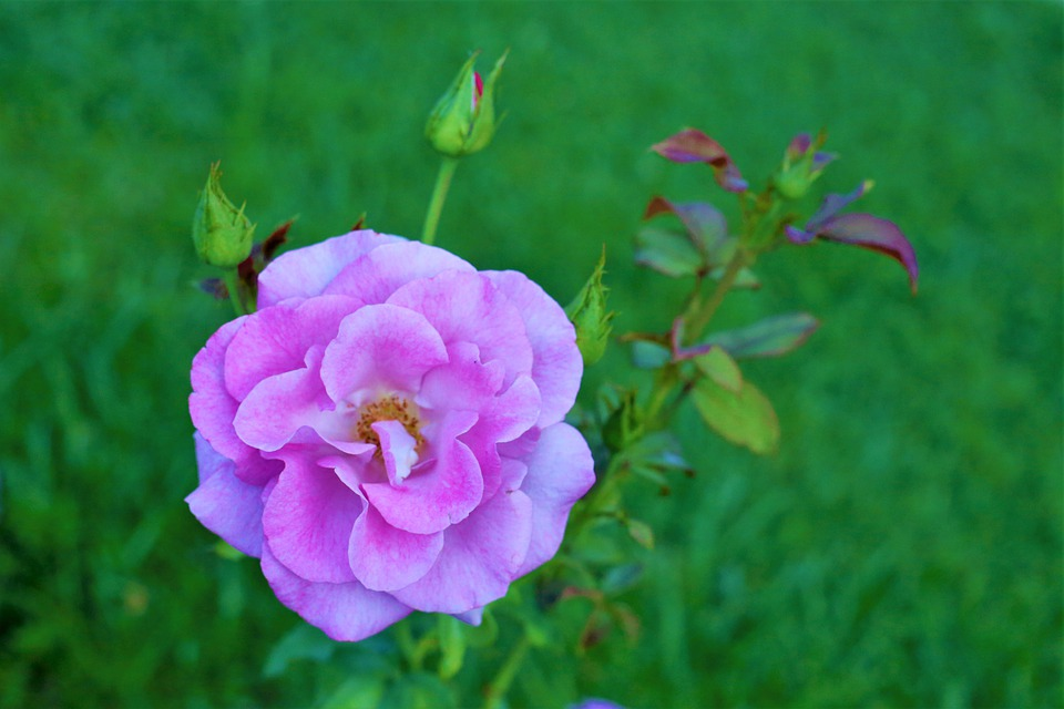 Flower, Rose, Buds, Leaves, Foliage, Plant, Nature