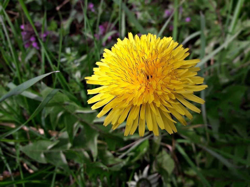 Flower, Nature, Plant, Summer, Lawn, Sonchus Oleraceus