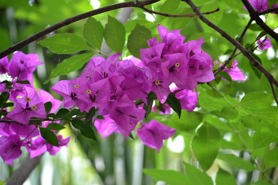 Flower, Bougainvillea, Nature, Flowers, Spring, Purple