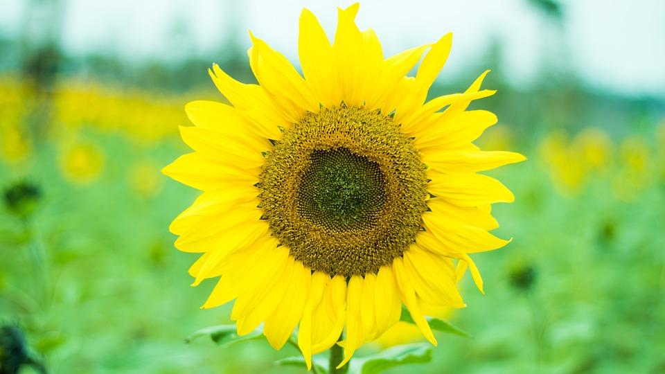Nature, Plant, Summer, Flower, Leaf