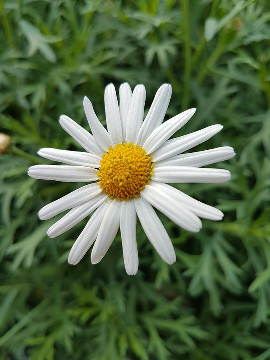Flora, Nature, Summer, Flower, Season, Marguerite Daisy