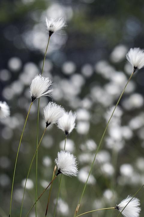 Swamp, Suovilla, Flower, Inflorescence, Summer, Nature