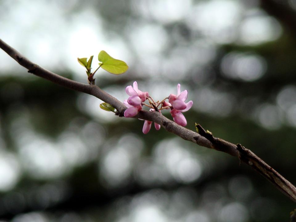 Tree, Branch, Flower, Cherry, Nature